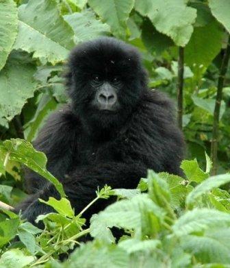 Nsekanabo, 2008-2010 - bébé gorille