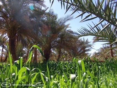 Les palmiers estompent les agressions du soleil, permettant aux plantations de s'épanouir.