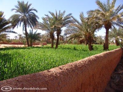 Grâce au système d'irrigation des Foggaras, les propriétaires des plantations peuvent espérer une récolte honorable.
